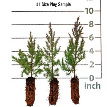 Eastern Red Cedar Forestry Plugs