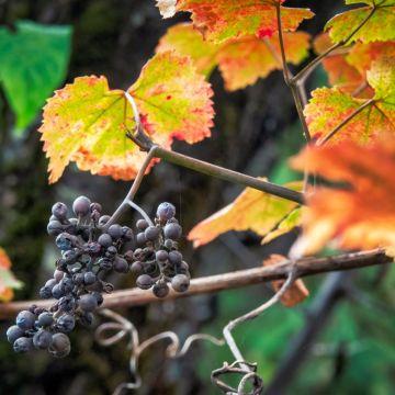 Concord Seedless Grape