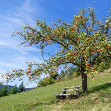Domestic Apple