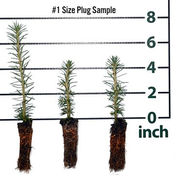 Fraser Fir Forestry Plugs