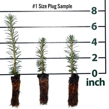 Canaan Fir Forestry Plugs