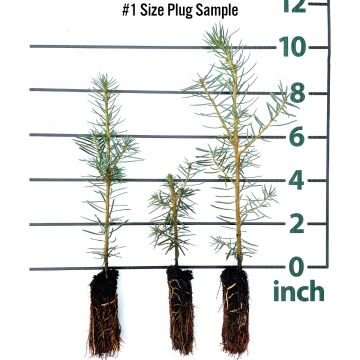 Balsam Fir Forestry Plugs