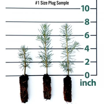 Concolor Fir Forestry Plugs