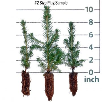 White Spruce Forestry Plugs
